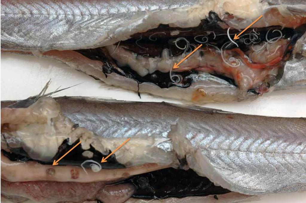 parásito anisakis peces